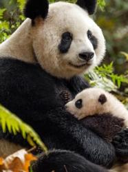 """Journée de la Terre avec Disney Nature - Pandas """"Nés en Chine"""""""