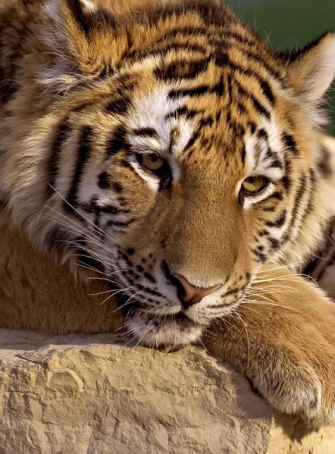 Zoo African Safari : félin sauvage
