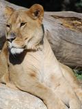 Les lions du Zoo de la Barben