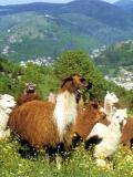 La ferme des lamas
