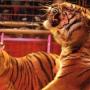Medrano - les tigres du Bengal