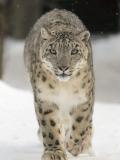 Léopard des neiges @Bernard Landgraf