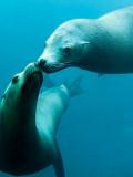 Les lions de mer de Nausicaá