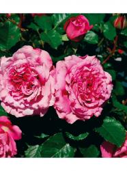 Un rosier en pot.