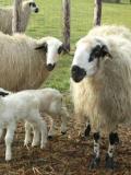 Tonds ton mouton au Musée de Plein Air