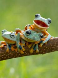Les grenouilles vues par Hendy Mp