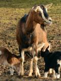 Maman chèvre et ses petits.